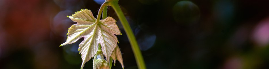Tales of Two Grapevines (3 of 4)