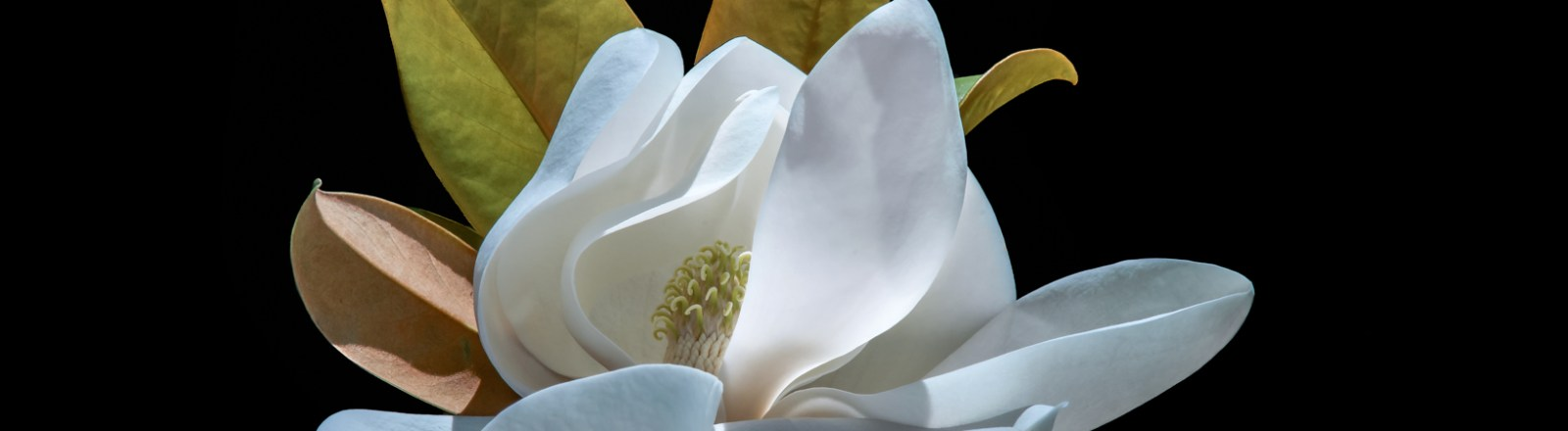Seven Magnolia Blooms