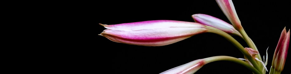 Lilies on Black Backgrounds (9 of 10)