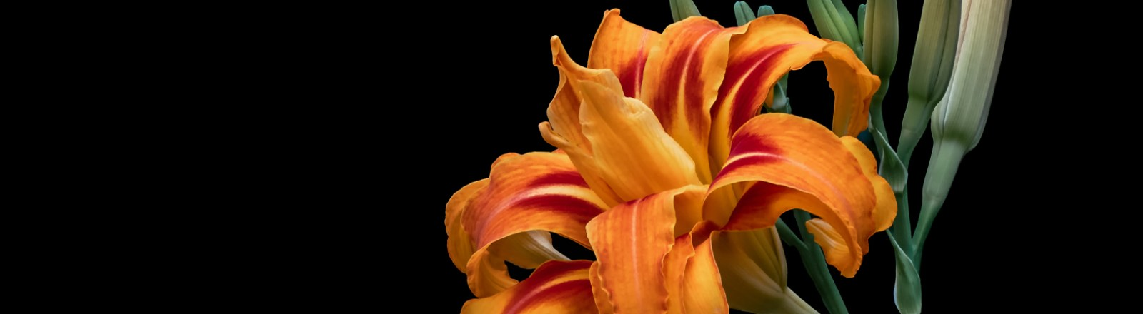 Lilies on Black Backgrounds (3 of 10)