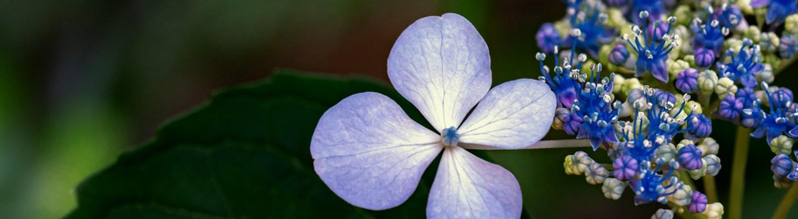 Baby Bluebird … Hydrangeas (1 of 2)
