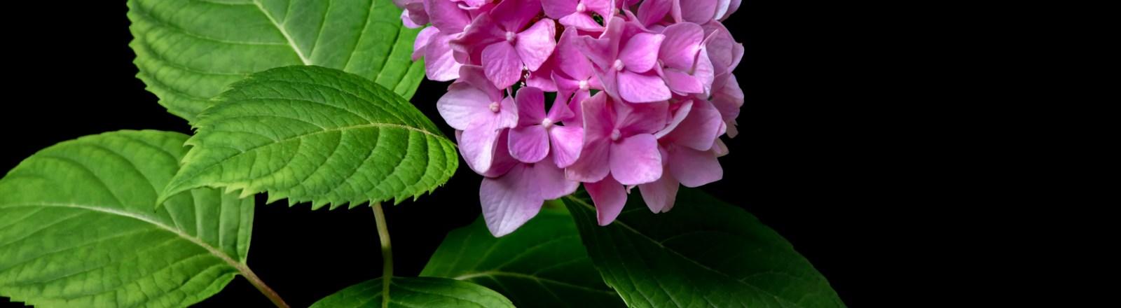 Pink Mophead Hydrangeas (Five Variations)