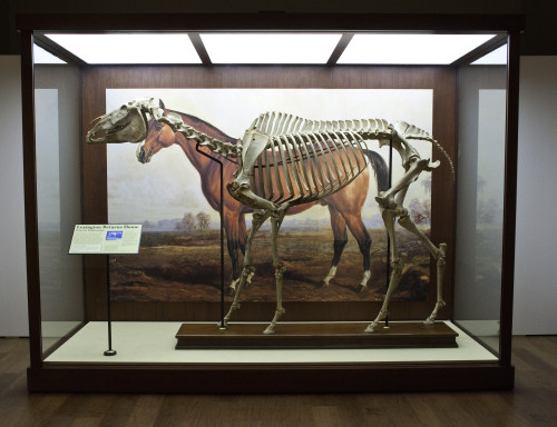 Lexington's skeleton stands before a copy of his portrait by Edward Troye. Courtesy Kentucky Horse Park