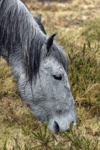 Dartmoor pony in the Moors