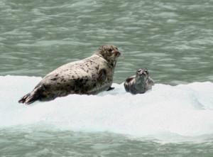 Alaskan seals. Copyright Donnelle Oxley