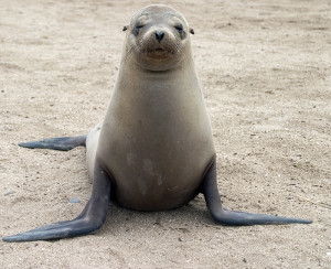 Galapagos sea lion. Copyright Donnelle Oxley