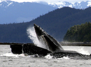 Humpback whales bubble-netting. Copyright Donnelle Oxley