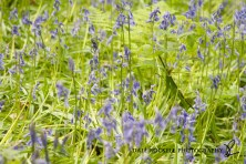 Bluebell Wood_19-05-13_IMG_1282