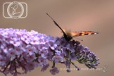 Butterfly_28-07-14_IMG_8002