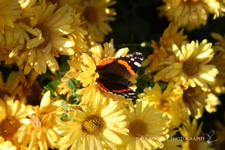 Flower & Red Admiral_28-10-14_IMG_0468
