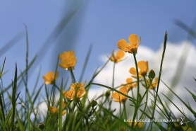 Buttercups_16-05-15_IMG_4344
