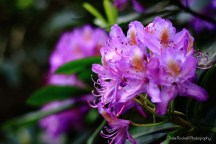 Rhododendron_IMG_0832_29-05-16