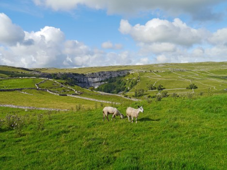 Blue faced Leicester sheep in Malham Cove
