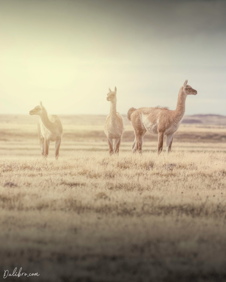 These guanacos are about to drop the hottest album of the year