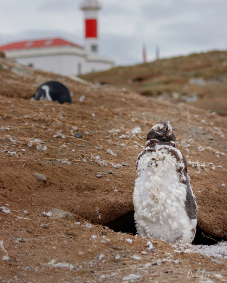 Typical scenery on Isla Magdalena, Strait of Magellan. If you ask how to take a picture of a penguin, it is supereasy - they just pose for you.