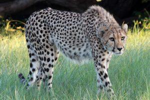 cheetah-thumb-300x200