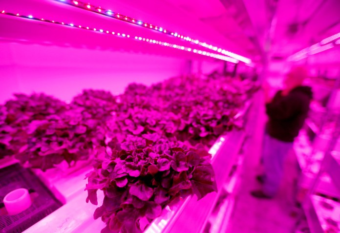 Plants are harvested inside a vertical farm in the back of the Central Market store in Dallas, Thursday, April 6, 2017. Central Market is trying out indoor growing, and the crops will be sold in the store beginning in May. (Jae S. Lee/The Dallas Morning News)Staff Photographer