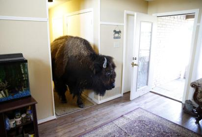 house trained bison with