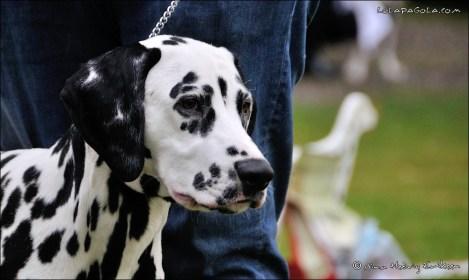 DalmatianDelights015NHEriksen