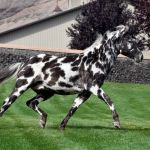 Dalosto Farms Llc Purebred Friesian And Gypsy Horses Along With Appaloosa Friesian Crosses And Arabian Friesian Crosses