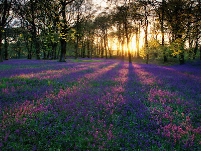 "Image result for field of violets"""