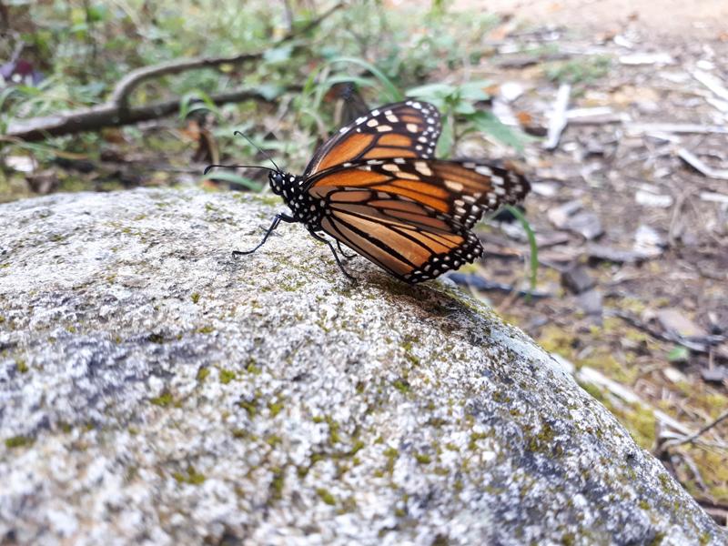 Mariposa Monarca Nevado de Toluca