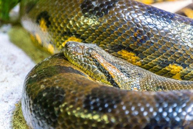 anaconda buzos