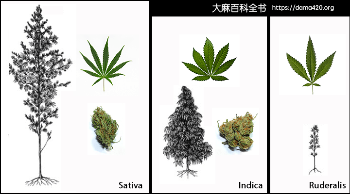 Sativa 和 Indica 有什么区别?还有 Hybrid?我们给你一个最全面的解释。