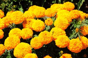 Best Marigolds in UAE