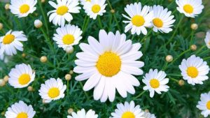 Best Daisy in UAE