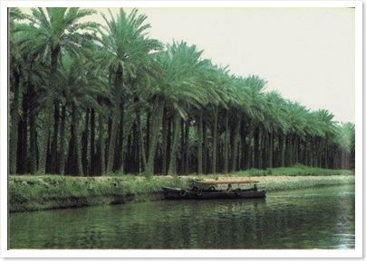 palms in basra