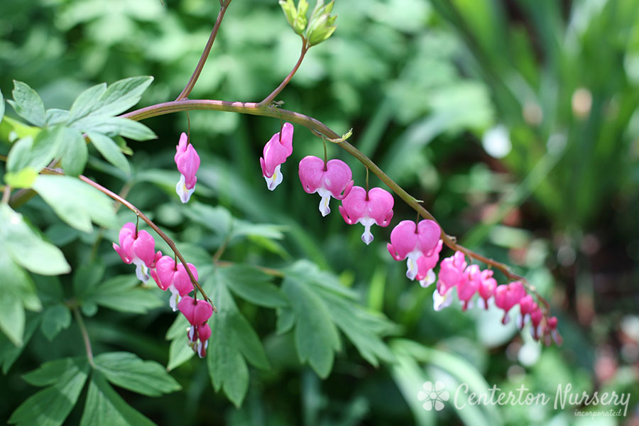 'Bleeding Heart' Dicentra