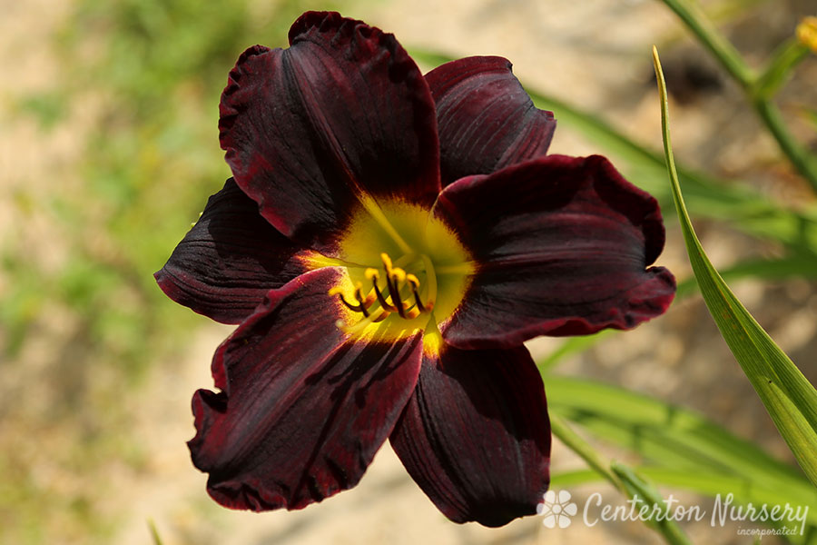 'Jungle Beauty' Daylily