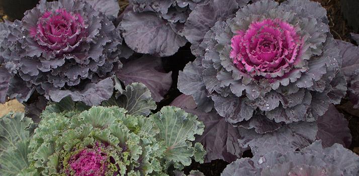 Ornamental-Cabbage