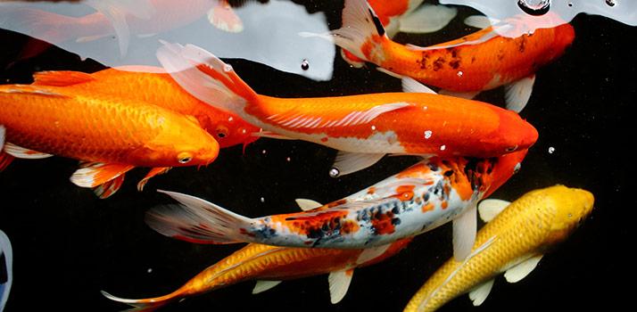 pond-fish