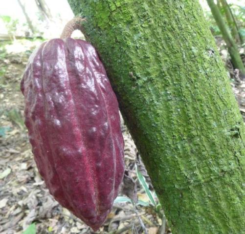 puerto rico ponce cacao pod tree