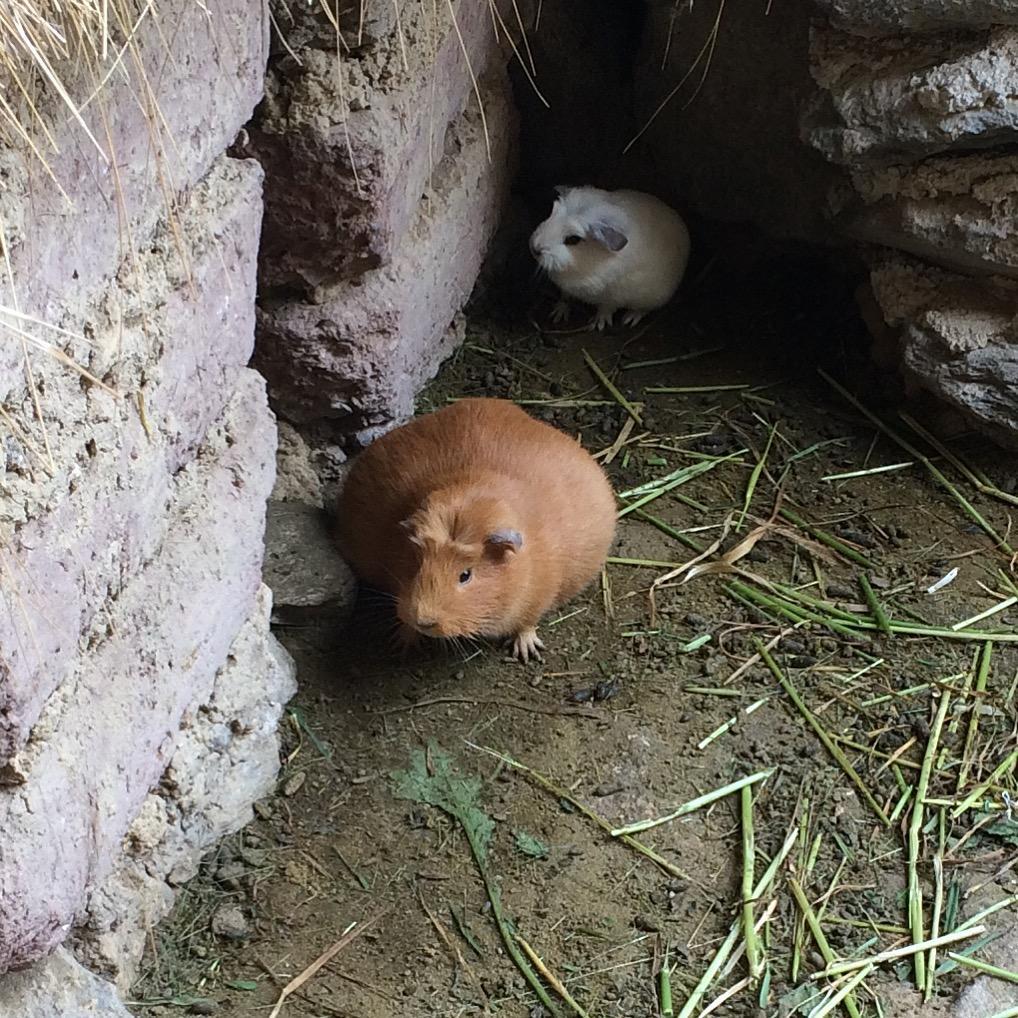 peruvian guinea pig peru cuy