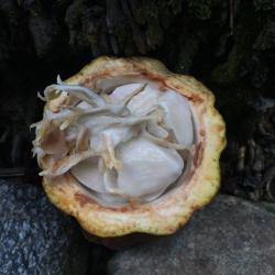 Opened Cacao pod in Baracoa