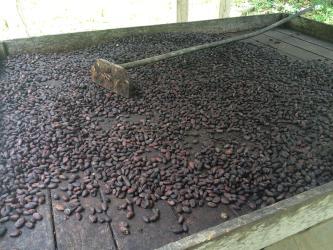 Baracoa Sendero Del Cacao Drying Cacao Beans