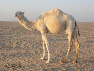 Desert camel/Nerissa Alford/flickr