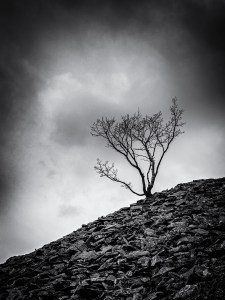 Tree growing in slate Tilberthwaite Cumbria Landscape Photography