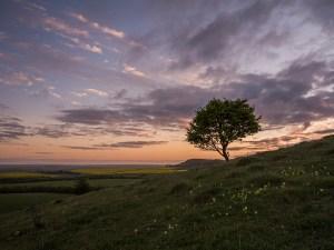 Tree Pitstone Hill, Buckinghamshire. Landscape Photography