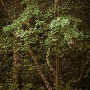 Burnham Beeches rowan Landscape Photography