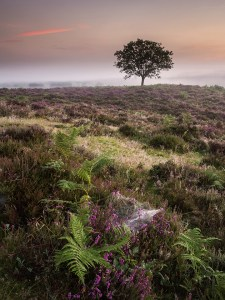 Landscape photography of Golden Barley Field of Heather in the New Forest Hampshire