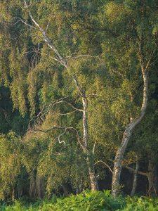 Ashridge Chiltern Woodland Landscape Photography