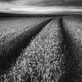 Barley Field Landscape Photography
