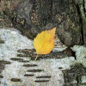 Landscape Photography birch leaf