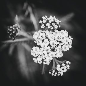 Landscape Photography of yarrow