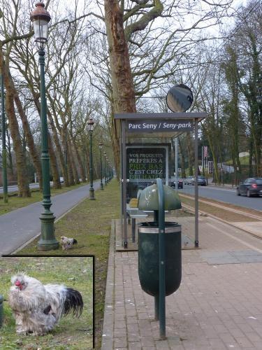 une poule à l'arrêt de tram