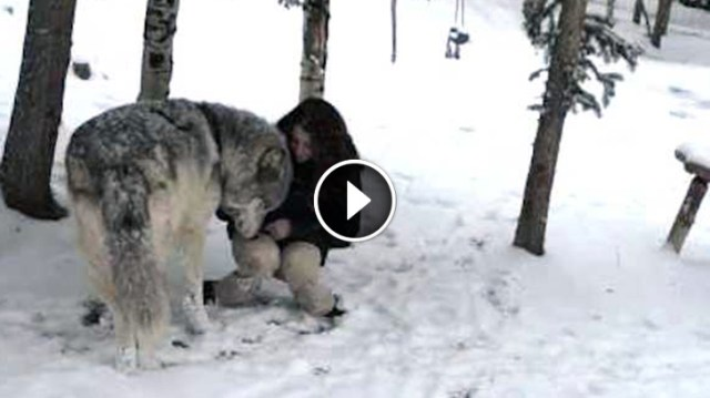 Image result for Huge Wolf Approaches This Woman when she was Out for a Walk. Then They Film THIS…